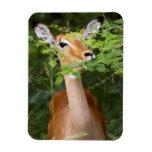 Impala (Aepyceros Malampus) Imanes Rectangulares