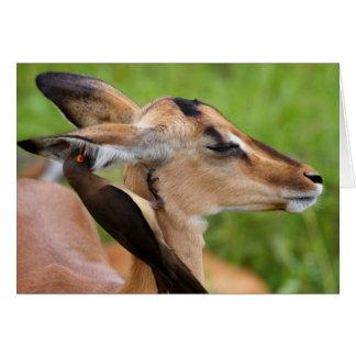 Impala (Aepyceros Malampus) Juvenile Card