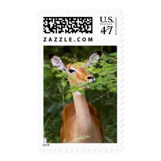 Impala (Aepyceros Malampus) Postage