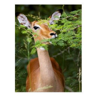 Impala (Aepyceros Malampus) Postcard