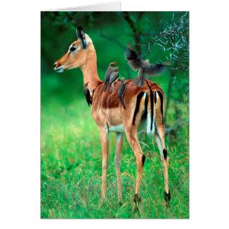 Impala (Aepyceros Melampus) Card