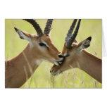 Impala, Aepyceros melampus, in the Masai Mara Cards