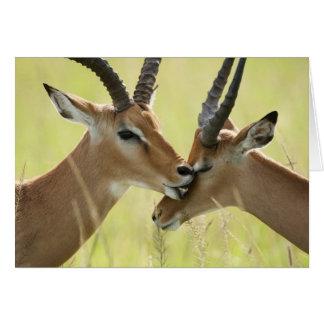 Impala, Aepyceros melampus, in the Masai Mara Card
