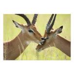 Impala, Aepyceros melampus, in the Masai Mara Photo