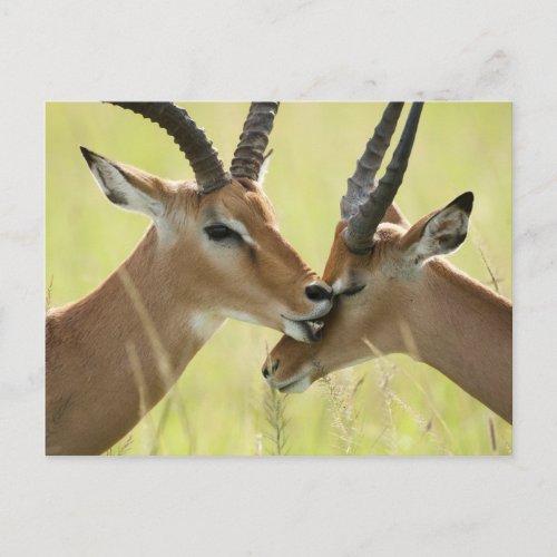 Impala Aepyceros melampus in the Masai Mara Postcard