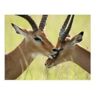 Impala, Aepyceros melampus, in the Masai Mara Postcard