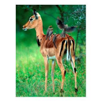 Impala (Aepyceros Melampus) Postcard