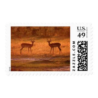 Impala (Aepyceros Melampus) Rams At Sunset Postage Stamp