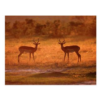 Impala (Aepyceros Melampus) Rams At Sunset Postcard