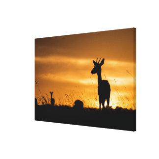 Impala at Sunset Canvas Print