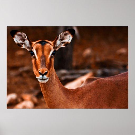 Impala Female Poster