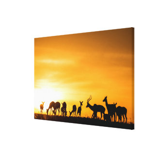 Impala Herd at Sunset Canvas Print