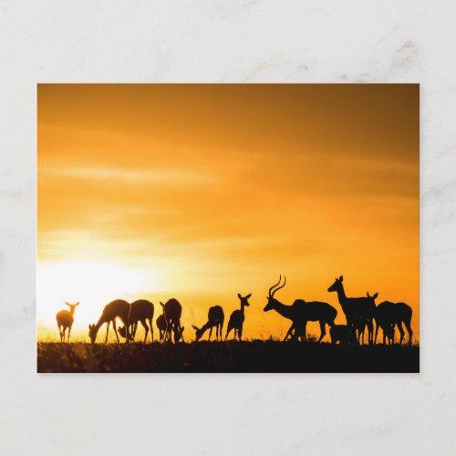 Impala Herd at Sunset Postcard