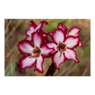 Impala Lily (Adenium Multiflorum), Kruger Poster
