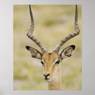 Impala masculino con los cuernos hermosos en luz s posters