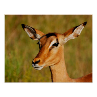 Impala safari animals prints, posters, images
