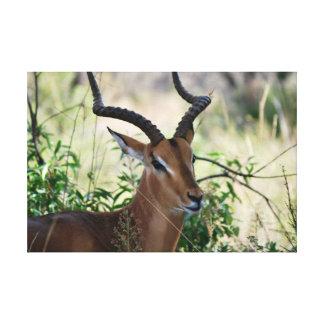 Impala surafricano impresión en lienzo estirada