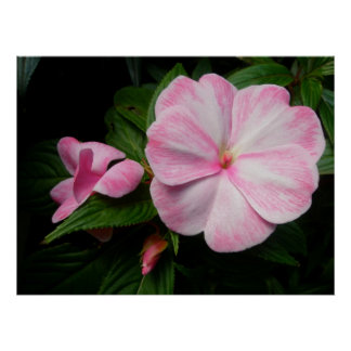 Impatiens Pink White Poster