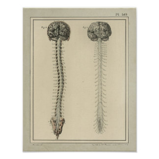 Impresión 1831 de la anatomía de la médula espinal