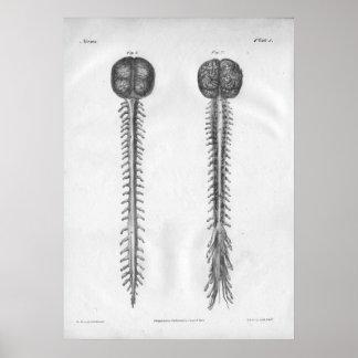 Impresión 1854 de la anatomía de la médula espinal