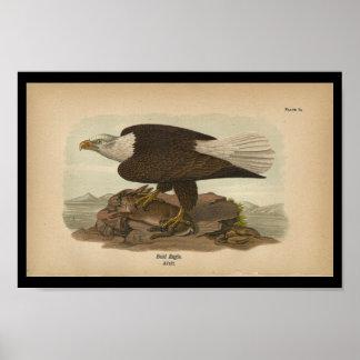 Impresión 1890 del pájaro Eagle calvo Póster