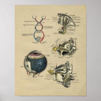 Impresión 1902 del vintage de la anatomía del ojo póster