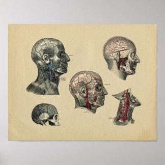 Impresión 1902 del vintage de la anatomía del poster