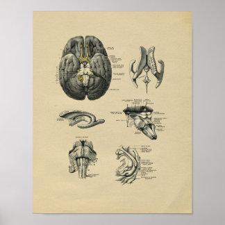 Impresión 1902 del vintage de la anatomía del póster