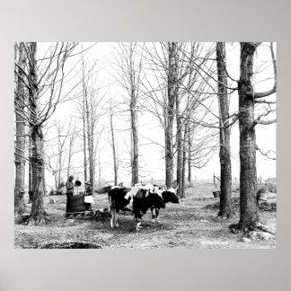 Impresión 1904 de Vermont del campo del azúcar de  Póster