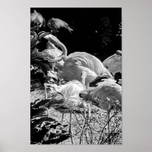 """Impresión 8"""" de la foto del flamenco X12 """" Póster"""
