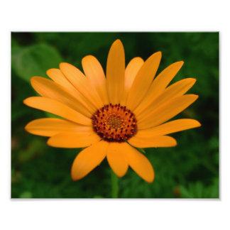 Impresión anaranjada de la foto de la margarita af fotografía