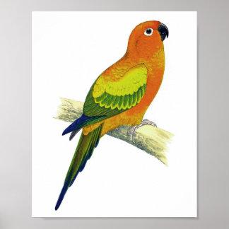 Impresión antigua anaranjada del pájaro del loro N Póster