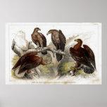 Impresión antigua de la litografía de Eagle Impresiones