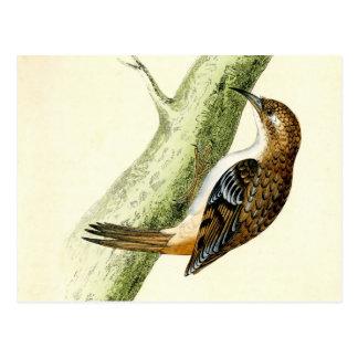 Impresión antigua de un Treecreeper Postal