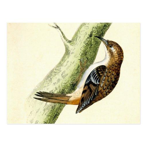 Impresión antigua de un Treecreeper Tarjetas Postales