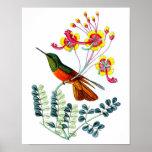 Impresión antigua del poster del pájaro del colibr