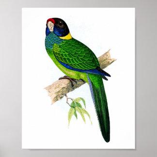 Impresión antigua tropical de la ornitología del l póster