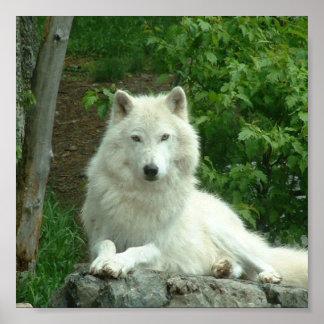 Impresión ártica del lobo póster