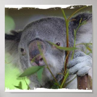 Impresión australiana del oso de koala impresiones