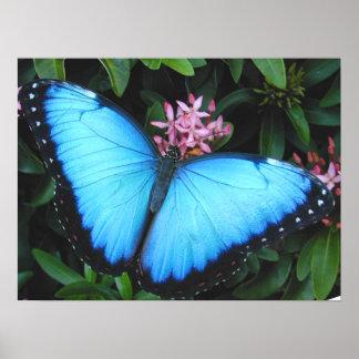 Impresión azul de la mariposa de Morpho Impresiones