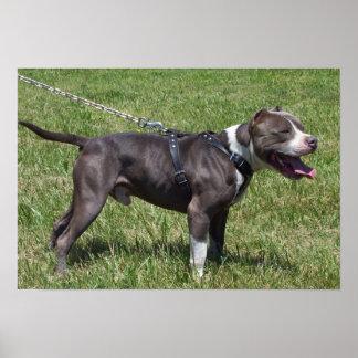 Impresión azul de Pitbull Terrier del americano Posters