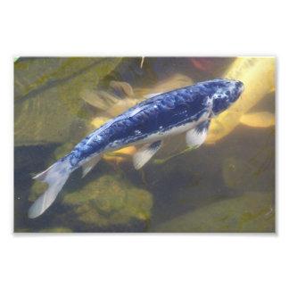 Impresión azul del koi cojinete