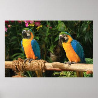 Impresión azul y amarilla del Macaw Poster