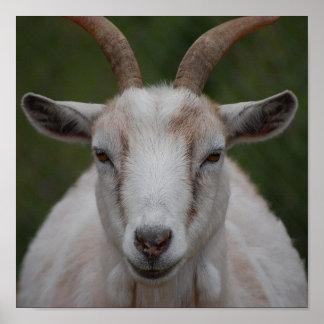 Impresión blanca de la cabra póster