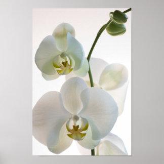 Impresión blanca del poster de la orquídea