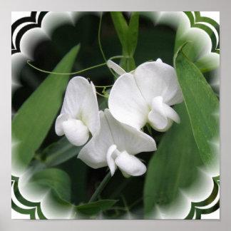 Impresión blanca del poster del guisante de olor