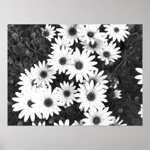 Impresión blanco y negro de las margaritas poster