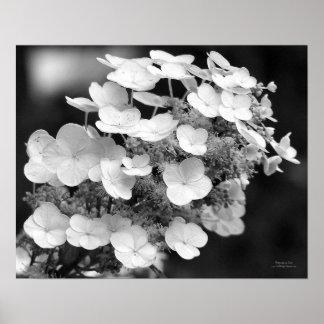 Impresión blanco y negro del Hydrangea del casquil Posters