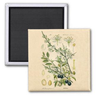 Impresión botánica antigua - endrino imanes para frigoríficos
