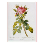 Impresión botánica color de rosa Rosa Bifera por Postal